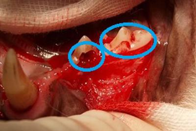 猫の歯の吸収病巣について
