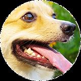 犬の歯周・歯内治療